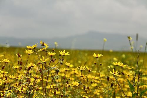 meskel-flowers