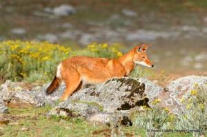 Canis simensis-DSC131117115